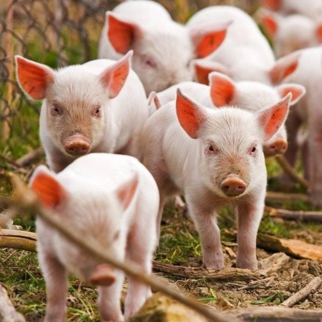 Разведение свиней: особенности и перспективы развития бизнеса