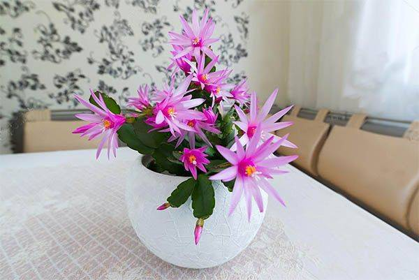 Почему не цветёт декабрист, что делать, как заставить цветок цвести?