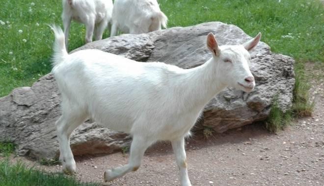 Понос у козлят: чем лечить в домашних условиях, лекарства и народные средства
