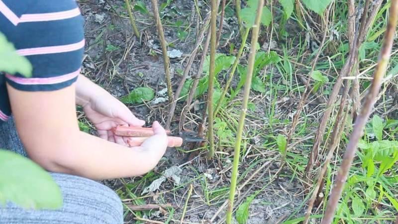 Пошаговое руководство по посадке малины осенью