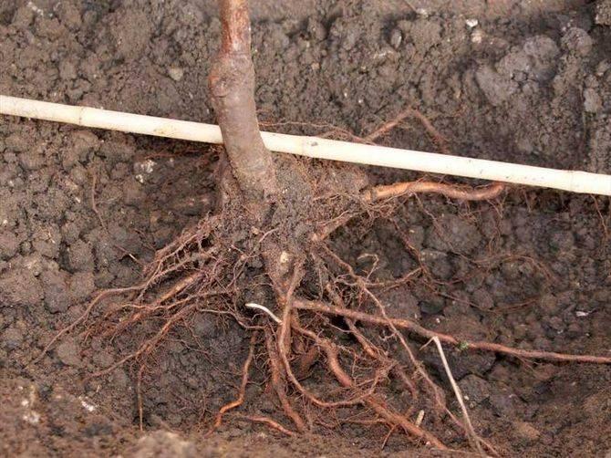 Посадка груши весной саженцами: какие сорта выбирать, как посадить правильно, размножение