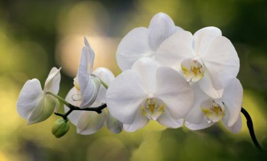 Орхидея фаленопсис (phalaenopsis)