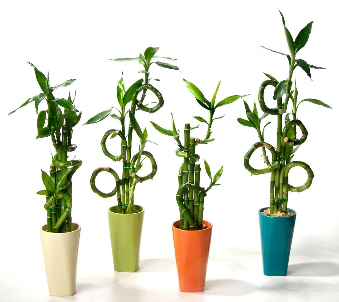 Как выращивать бамбук в домашних условиях, посадка и уход