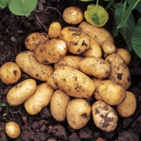 Картофель бриз | огородовед