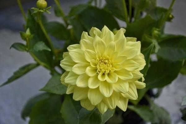 Георгины «фигаро» (18 фото): описание сорта и его разновидностей «ред шейдес», «еллоу», «виолет», «оранж» и других; особенности выращивания цветов из семян
