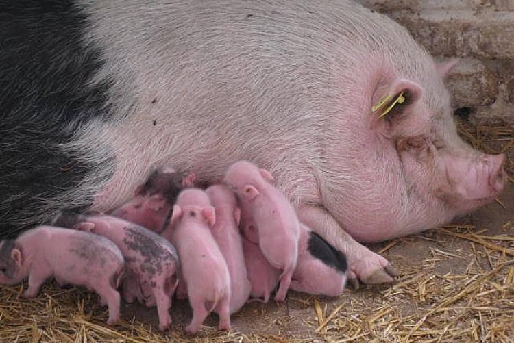 Как и чем кормить свиней для набора веса