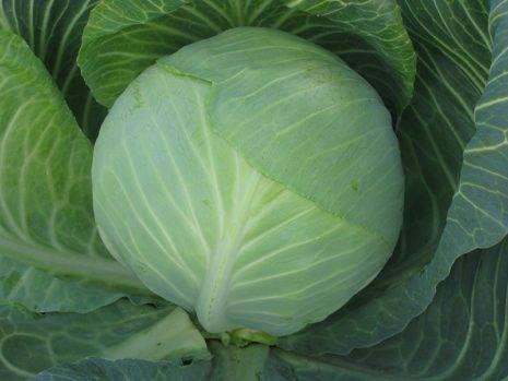 Семена капуста б/к f1 крюмон : описание сорта, фото. купить с доставкой или почтой россии.