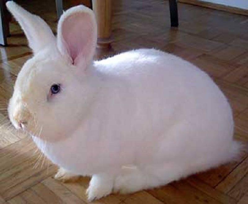 Кролик венский голубой: особенности породы и содержания