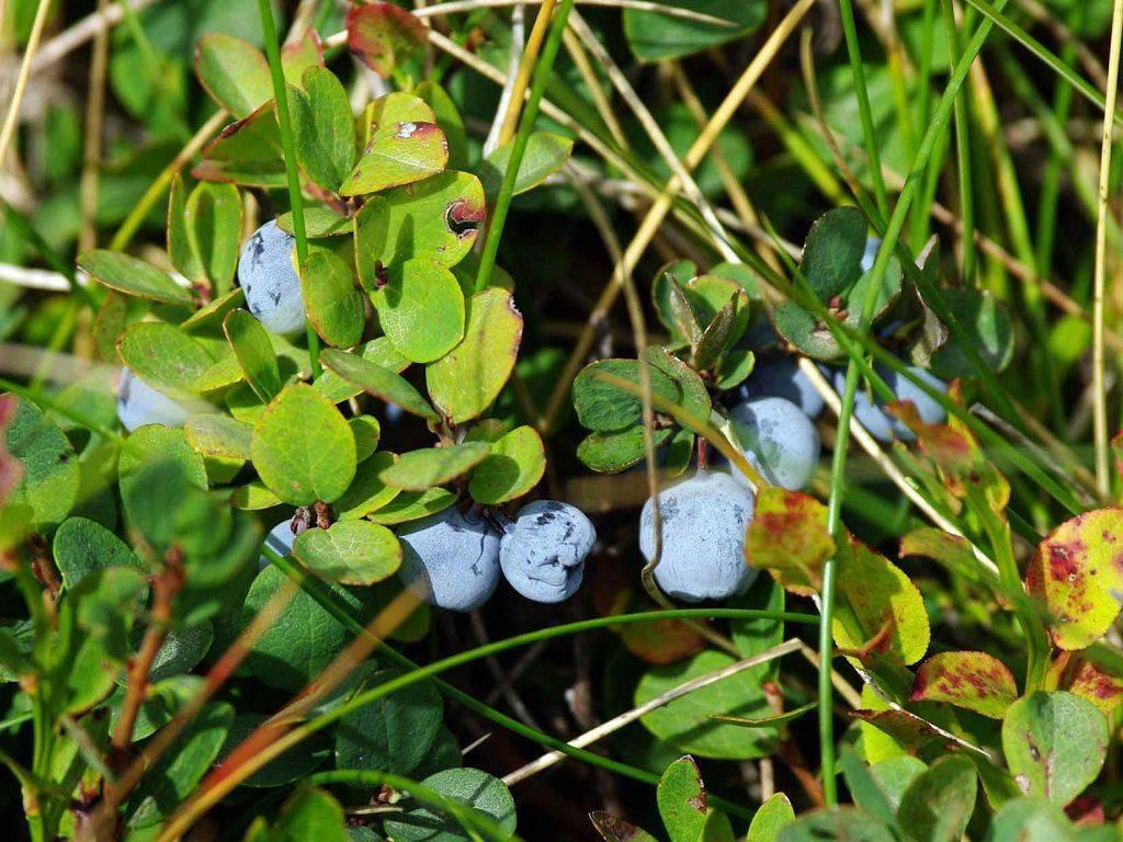 Лучшие сорта голубики для подмосковья - самые вкусные, отзывы и правила выращивания ягоды в данном регионе: посадка, уход, укрытие на зиму