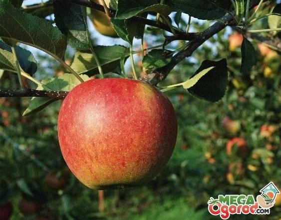 Что собой представляет сорт яблони айдаред?