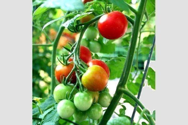 Томат яблонька россии: описание отзывы и характеристики сорта. уход и выращивание особого сорта томатов (110 фото)