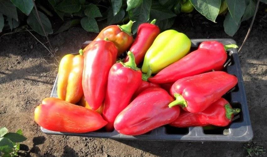 Перец купец — описание и характеристика сорта