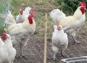 Бресс гальская порода кур: описание и фото, характеристики и особенности выращивания selo.guru — интернет портал о сельском хозяйстве