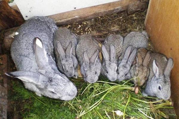 Как применять кроличий навоз для удобрения огорода