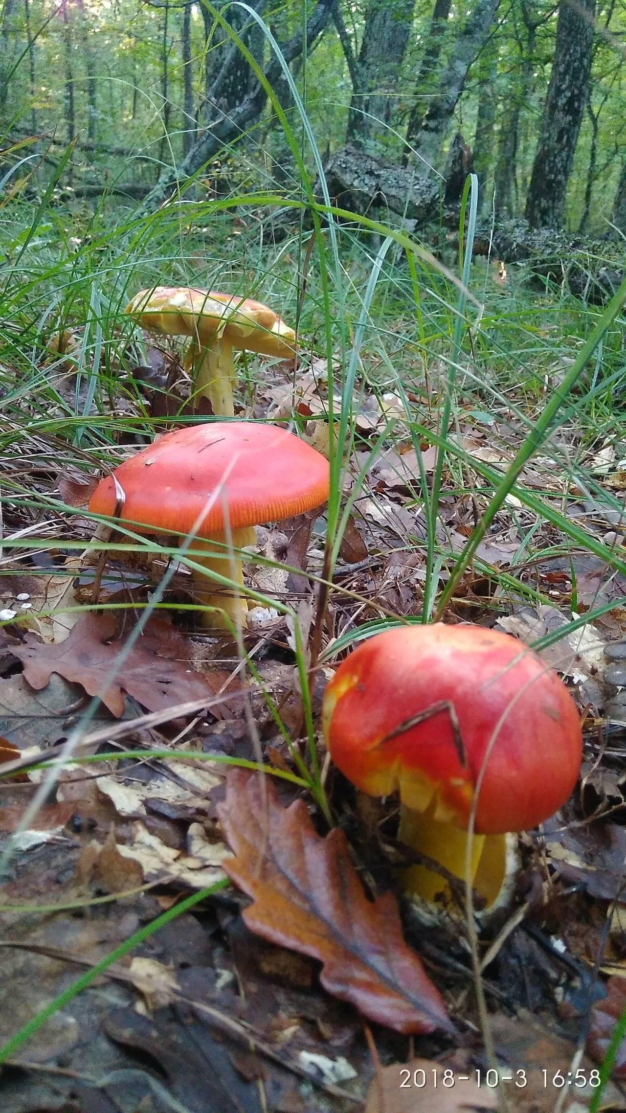 Цезарский гриб (царский гриб)