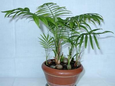 Популярные виды домашних пальм