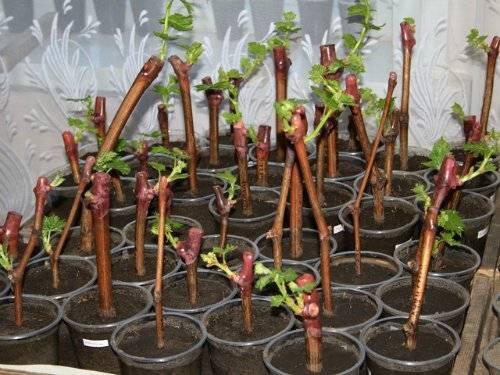 Как осенью размножить виноград черенками