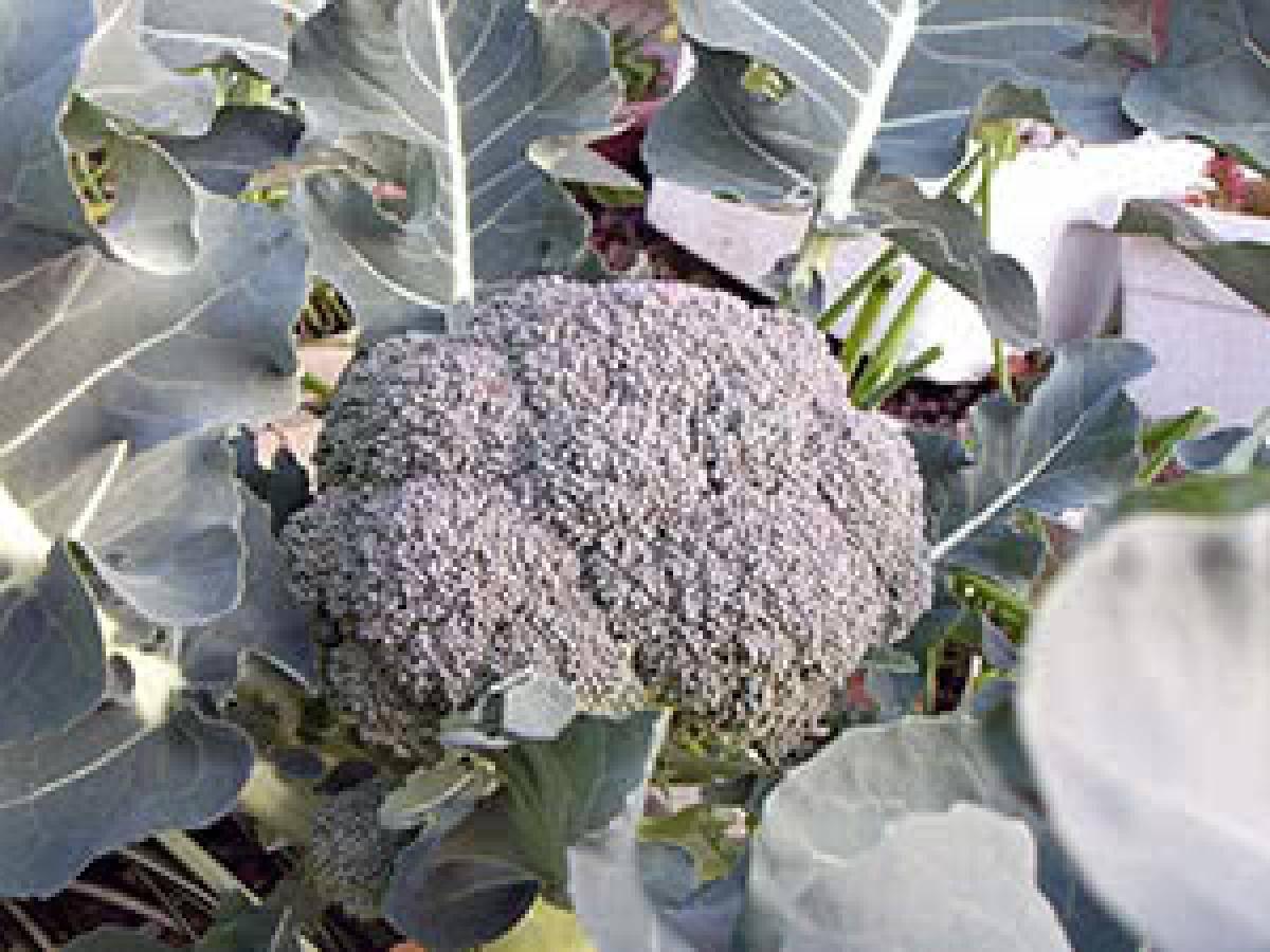 Капуста брокколи тонус: отзывы, фото, описание, выращивание сорта