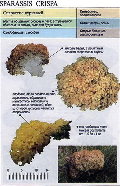 Гриб заячья капуста или cпарассис курчавый