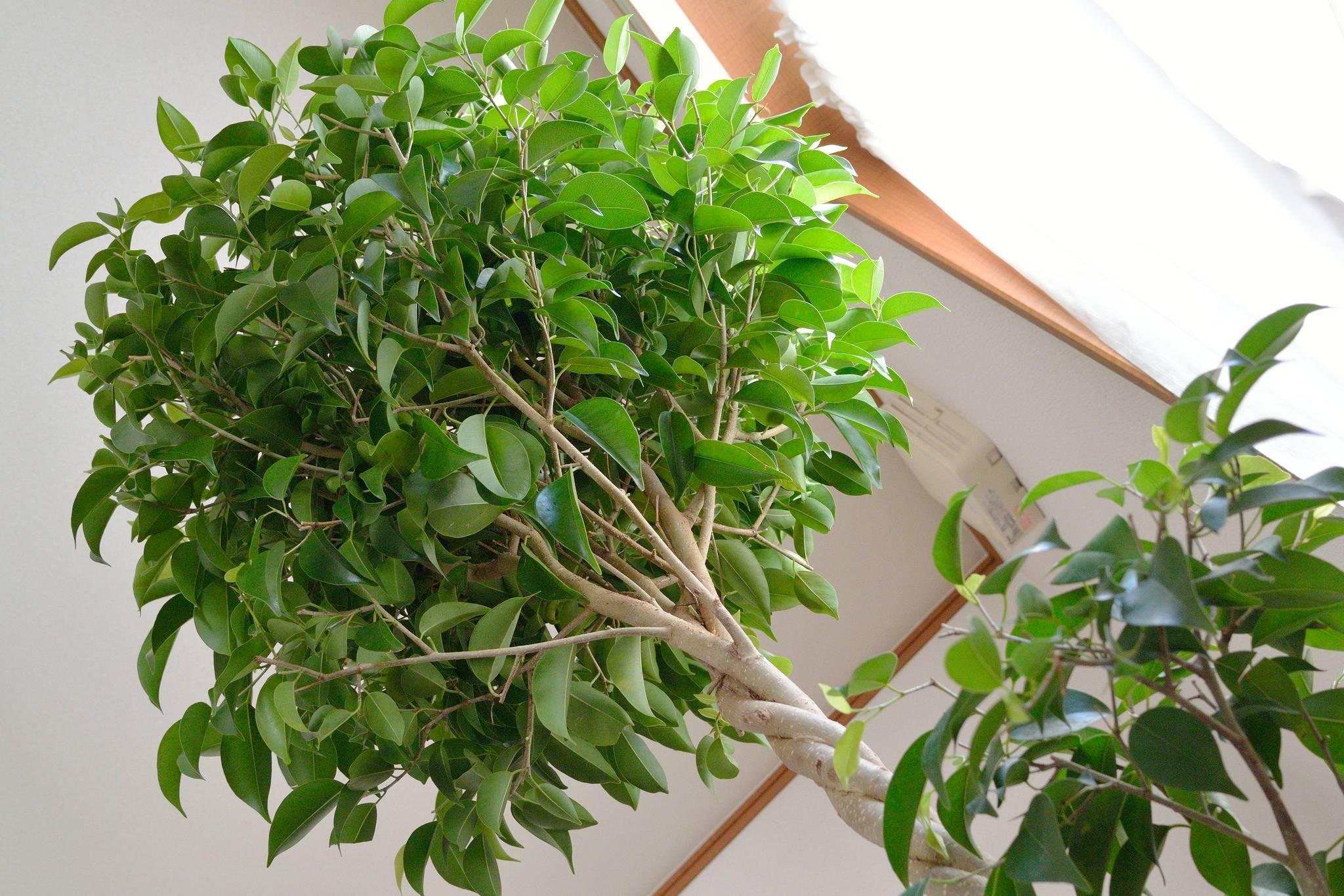Почему фикус бенджамина сбрасывает листья – сквозняки, переезд, мало света