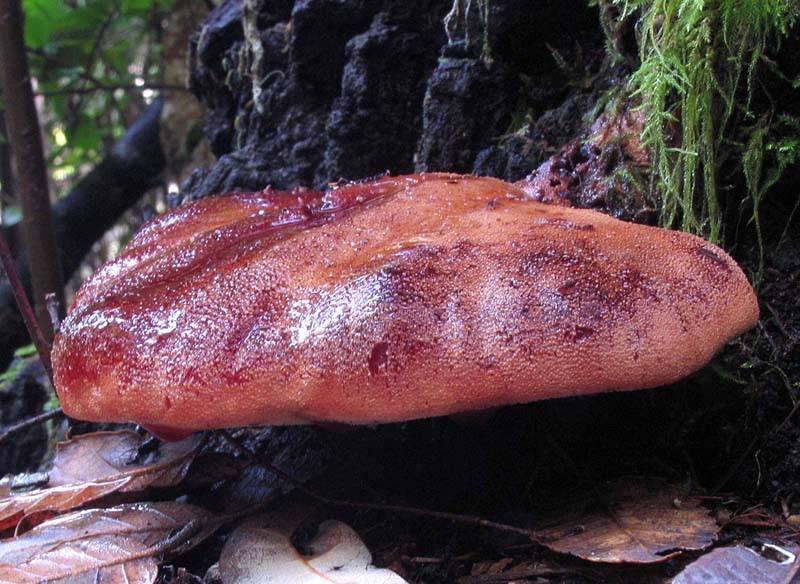 Печеночный гриб: +19 фото и описание, как мариновать?