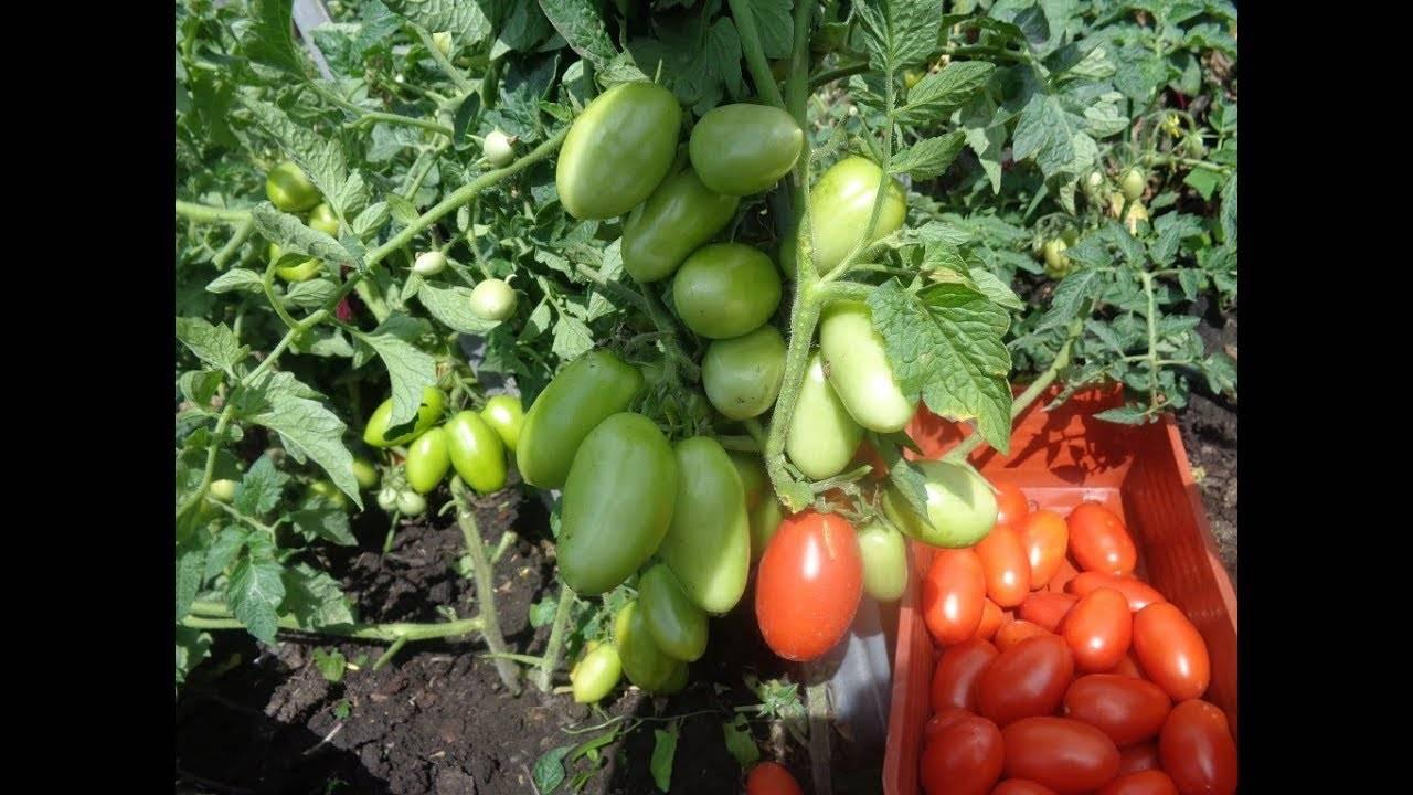 Томат челнок: описание и характеристика сорта, особенности выращивания помидоров, посадки на рассаду, отзывы, фото