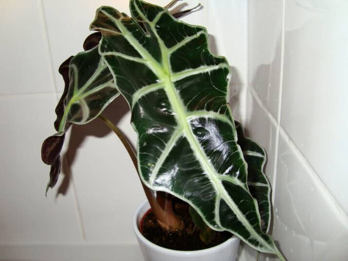 Алоказия полли и крупнокорневая — декоративно-лиственный цветок: уход и выращивание