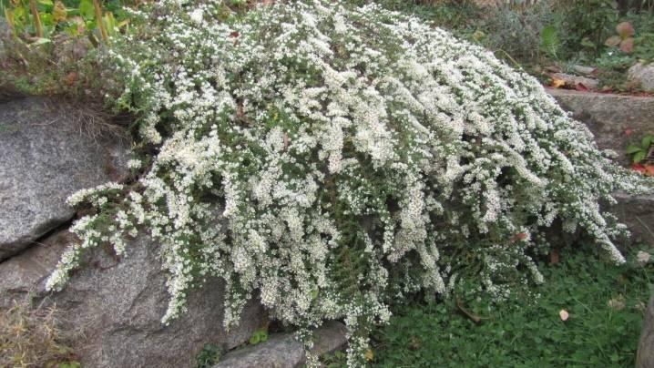 Цветок астра вересковая: посадка, уход, методы размножения