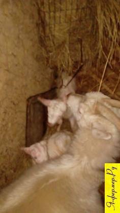 Отек вымени у козы после родов: что делать и причины, правила лечения