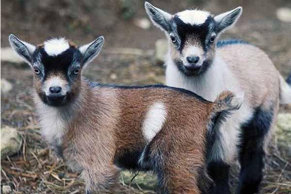 Камерунские козы: как вырастить карликовых коз в домашних условиях, отзывы о мини-породе