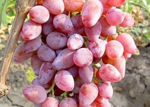 Описание и характеристики сорта винограда «дамские пальчики»