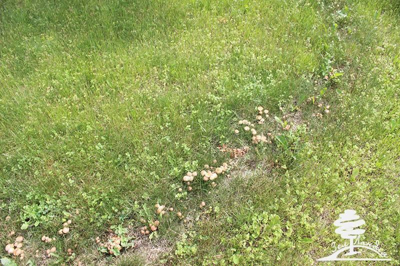 Методы борьбы с грибами на газоне — профилактические средства, народные способы