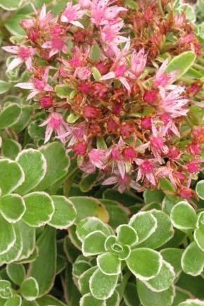 Очиток ложный — почвопокровные растения для сада
