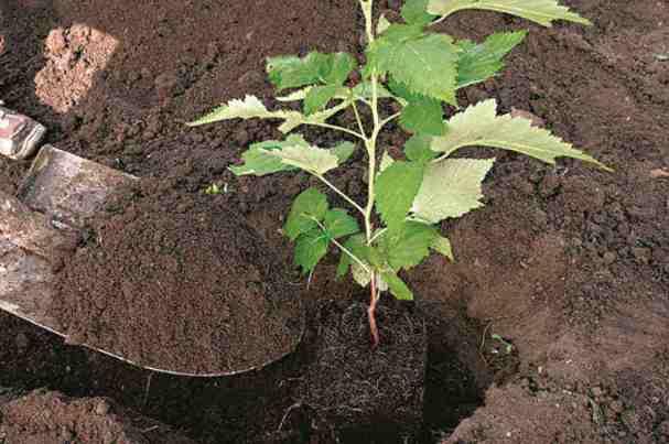 Посадка малины осенью когда и как посадить - пошаговая инструкция. щедрый урожай гарантирован! | красивый дом и сад