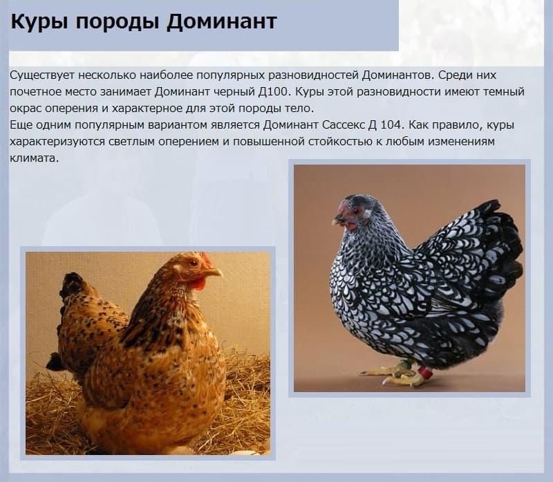 Русские породы кур – описание, фото лучших несушек и видео
