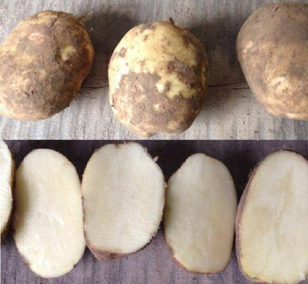 Сорт картофеля колобок: описание и характеристика, отзывы