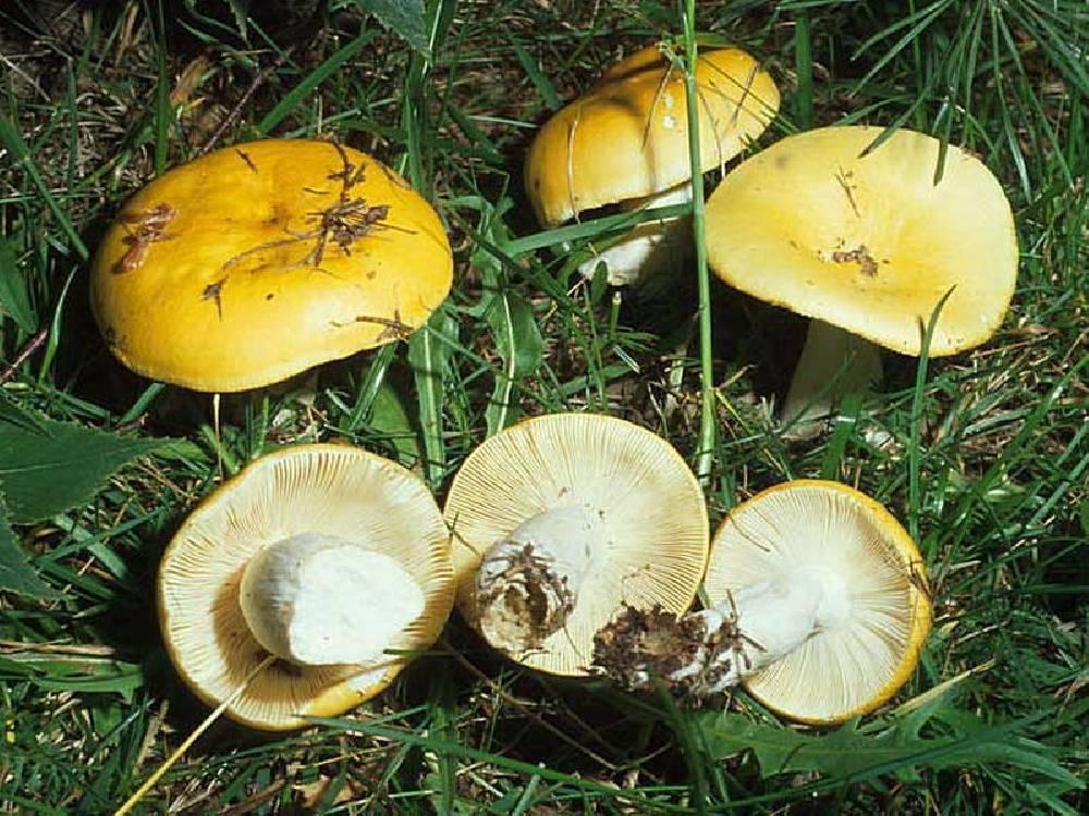 Ложные и ядовитые сыроежки: их фото и как отличить от съедобных грибов?   рутвет - найдёт ответ!