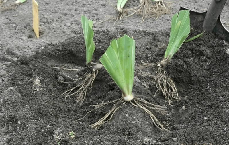 Луковичные ирисы: посадка, уход и размножение