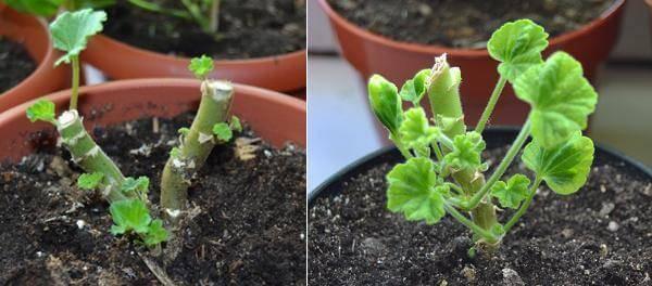 Как посадить герань отростком без корней в землю или в воду: можно ли и как правильно размножить цветок в домашних условиях, как взять и переместить в горшок? selo.guru — интернет портал о сельском хозяйстве