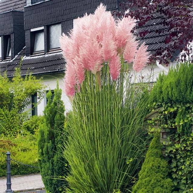 Пампасная трава (кортадерия): описание и выращивание из семян