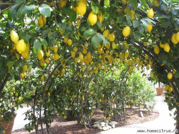 Описание лимона сорта лунарио и уход за комнатным растением в домашних условиях