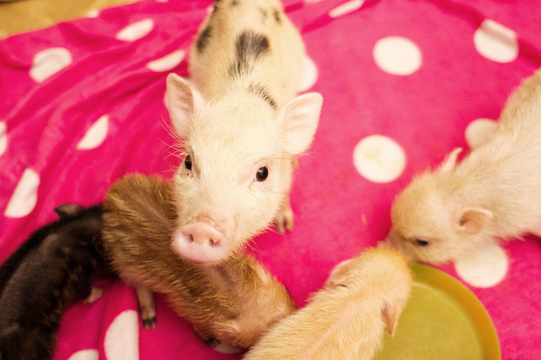 Как зарезать свинью: забой свиней в домашних условиях, как разделать поросенка, забой и разделка