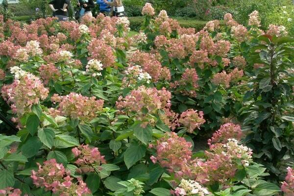 Сорта гортензии метельчатой, самые красивые и устойчивые для посадки в саду на supersadovnik.ru