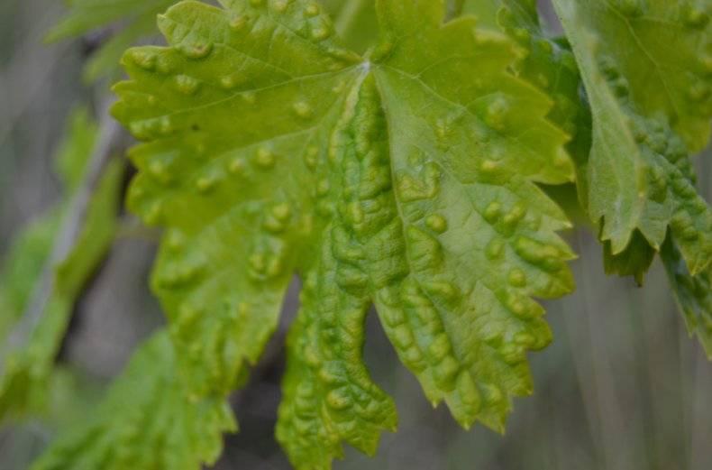 Пестициды против клеща на винограде