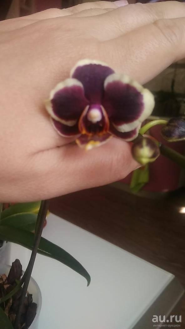 Характеристика бордовой орхидеи