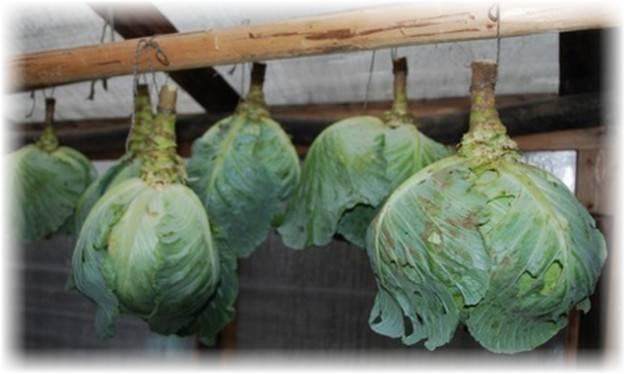 Сколько и как хранить цветную капусту в домашних условиях