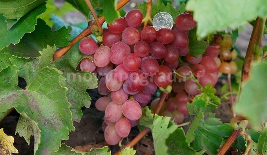 Сорт винограда Надежда Аксайская: правила ухода