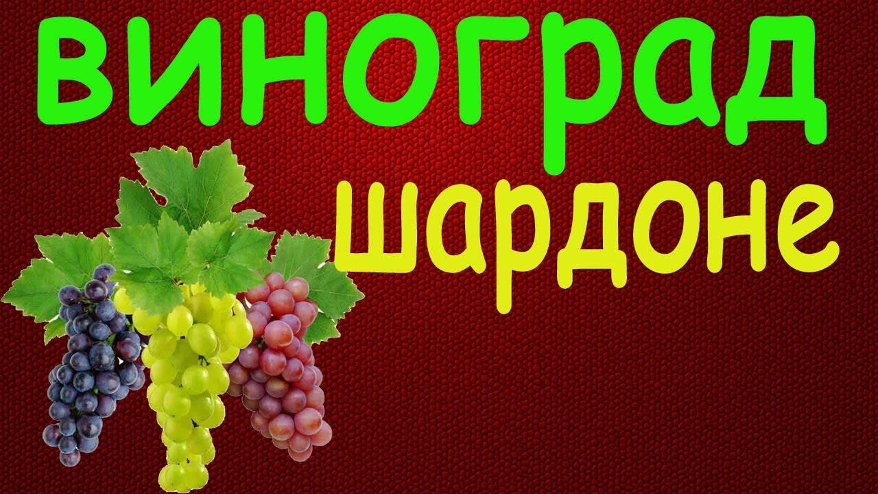 Виноград шардоне: описание сорта, фото, характеристики, болезни selo.guru — интернет портал о сельском хозяйстве