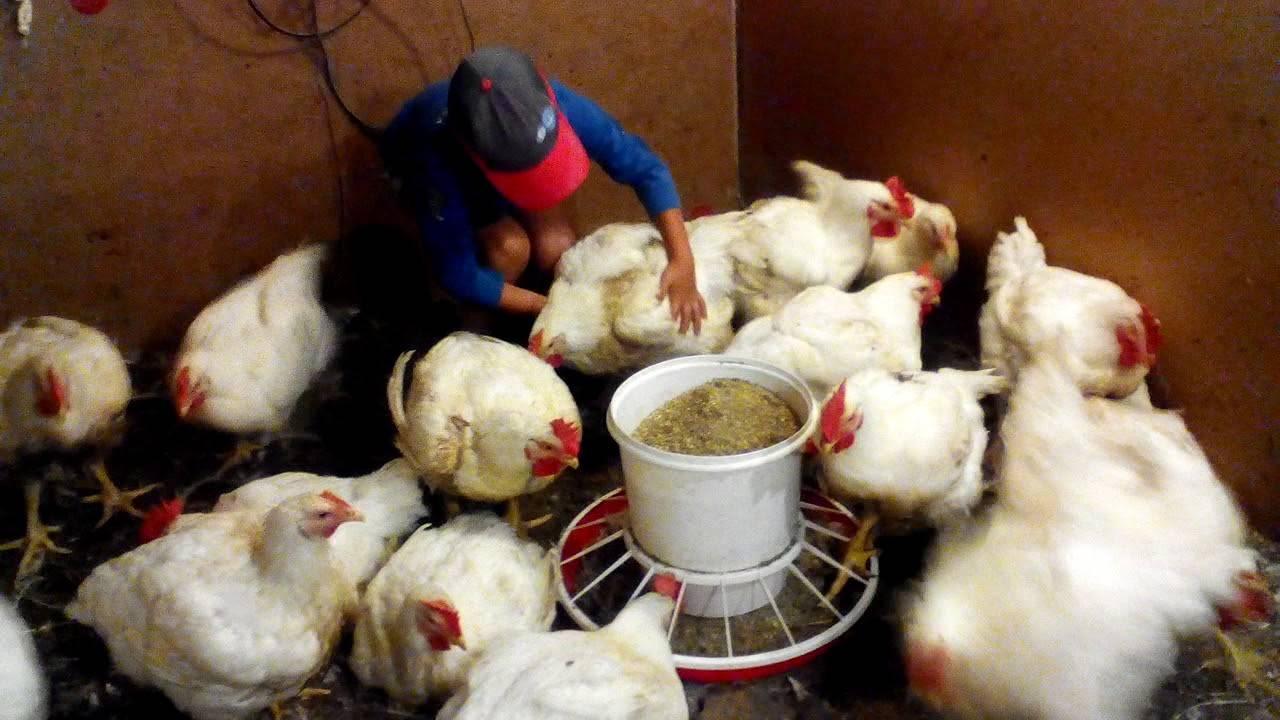 Бройлеры cobb 700: описание породы, содержание цыплят. отзывы владельцев