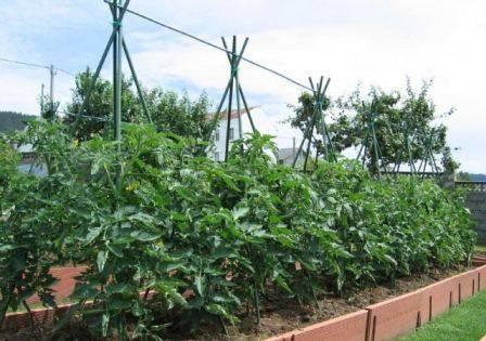Выращивание томатов в теплице из поликарбоната от а до я: секреты хорошего урожая помидоров, особенности агротехники и полива и как правильно выбрать сорта? русский фермер